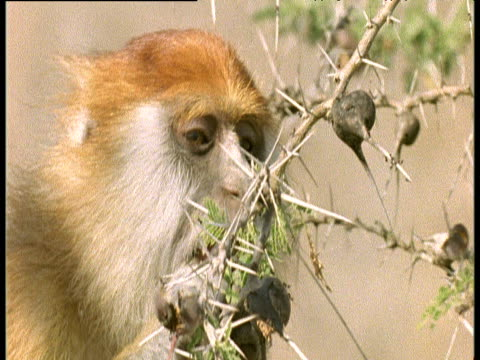 Patas Monkey eats ants from galls on acacia tree