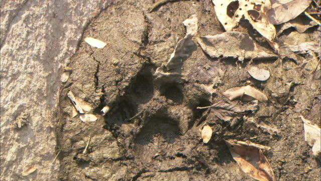 A patch of dirt reveals a tiger paw print.