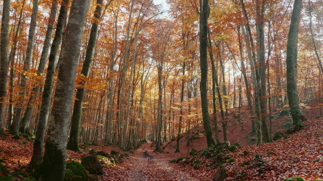 path through enchanted autumn forest - woodland stock videos & royalty-free footage