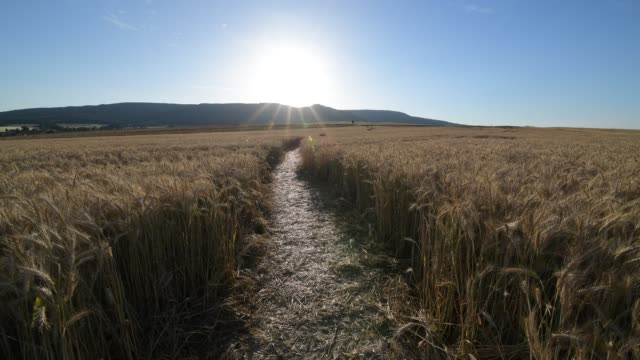 Path through grainfield with sun, Germerode, Werra-Meissner district, Hesse, Germany