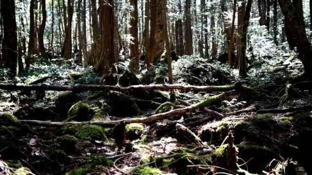 vidéos et rushes de a pathway leads through aokigahara forest on march 13 2018 in fujikawaguchiko japan aokigahara forest lies on the on the northwestern flank of mount... - préfecture de yamanashi