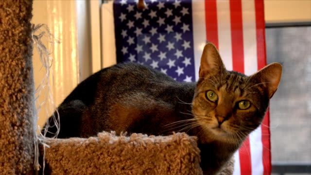 patriotic cat - animal vertebra stock videos and b-roll footage