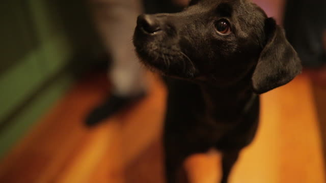 patterdale terrier in the kitchen - kitchen counter stock videos & royalty-free footage