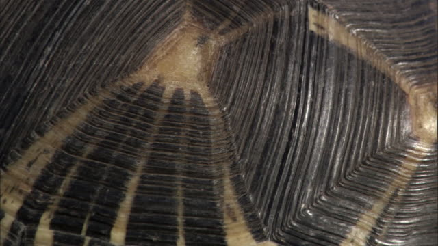 patterned shell of radiated tortoise (astrochelys radiata), madagascar - tortoise shell stock videos & royalty-free footage