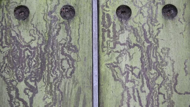 patterns left on a wooden gate left by snails feeding on the algae growing on the gate, oxford, uk. - mollusc stock videos & royalty-free footage