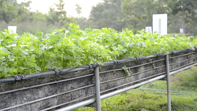 patterns of coriander field - parsley stock videos and b-roll footage