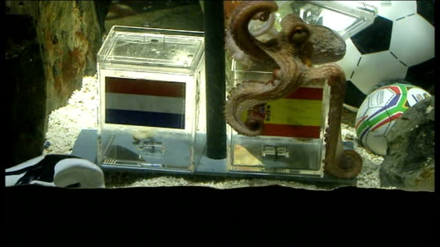 paul the psychic octopus sitting on top of the box with spanish flag - mollusc stock videos & royalty-free footage