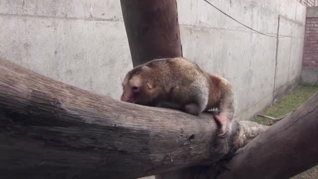 Paulina y Freddy forman la pareja mas longeva de osos hormigueros pigmeos que viven fuera de su habitat