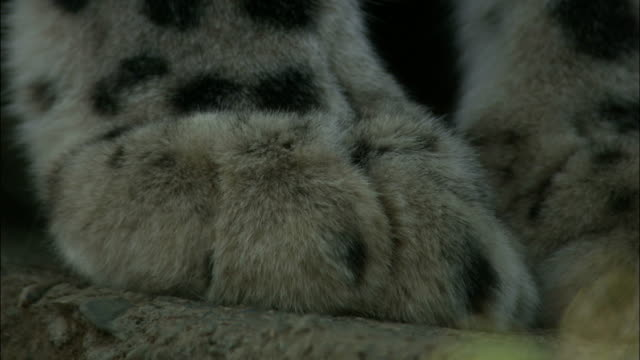 Paw of Snow Leopard. Available in HD.