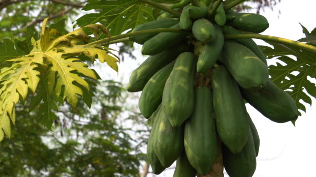 pawpaw tree - tropical fruit stock videos & royalty-free footage