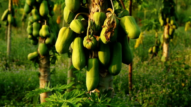 pawpaw tree - tropical tree stock videos & royalty-free footage