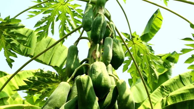 pawpaw tree - papaya stock videos & royalty-free footage