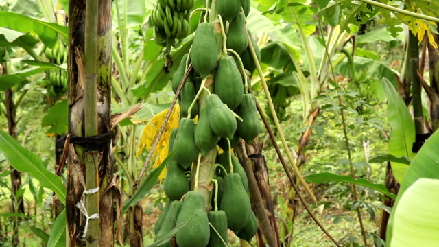 pawpaw tree with papaya fruits - papaya stock videos & royalty-free footage