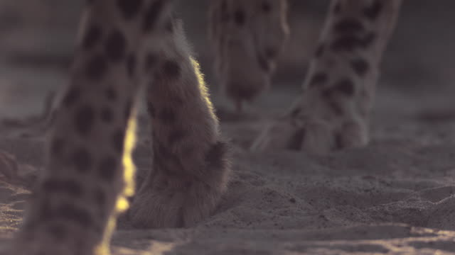 slomo paws of cheetah on sand - 動物の足点の映像素材/bロール