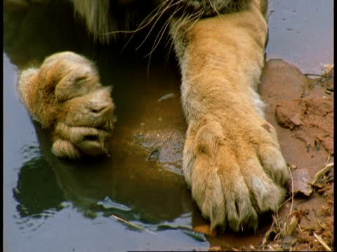CU paws tilt to head of Royal Bengal tiger, Panthera tigris tigris, in pool, Bandhavgarh National Park, India