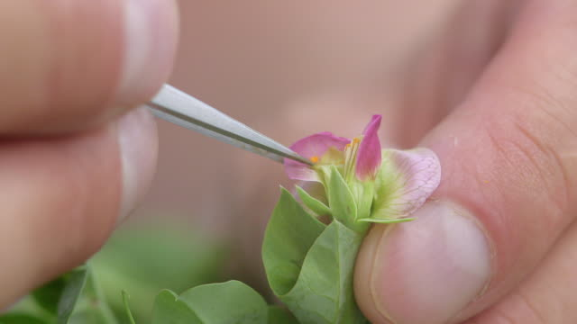 a pea flower is cross-pollinated by hand - genetic research stock videos & royalty-free footage