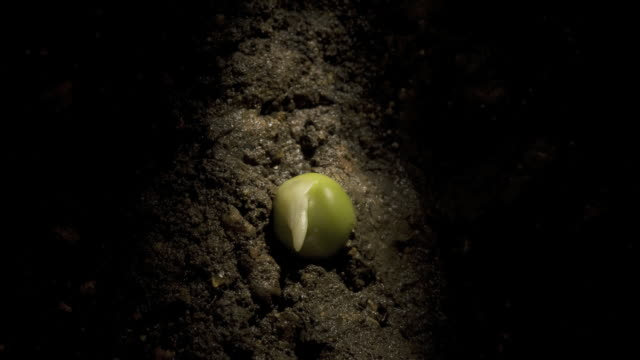 T/L pea (Pisum sativum) germinating underground, side view