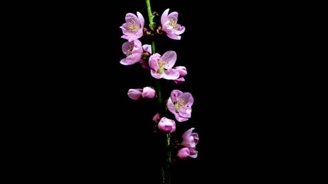 peach blossom blooming - svart bakgrund bildbanksvideor och videomaterial från bakom kulisserna