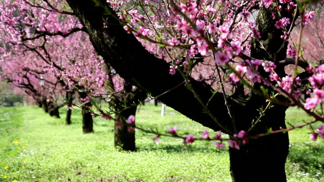 Peach Blossoms; DOLLY SHOT