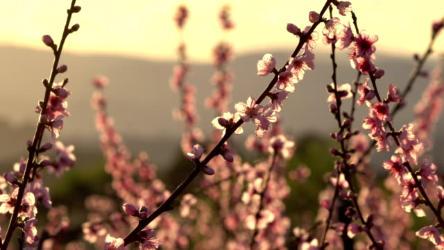 Peach blossoms fields in Catalonia