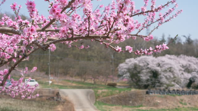 Peach Blossoms Swaying in the Wind