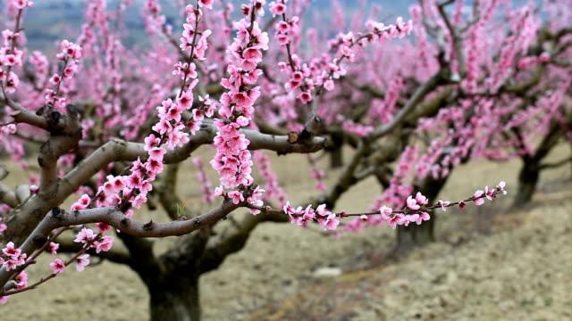 Peach field in spring
