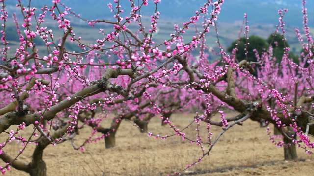 Peach field in spring