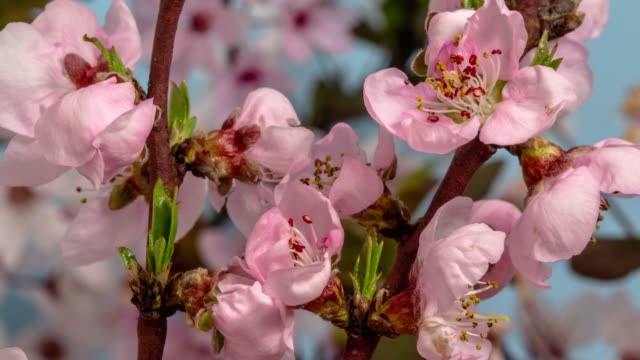 peach flower blooming against blue background in a time lapse movie. prunus persica growing in time-lapse. - stock video - peach stock videos & royalty-free footage