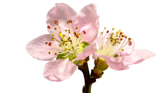Peach flower blooming against chroma key background in a 4k time lapse movie. Prunus persica growing in moving time lapse. Alpha channel included