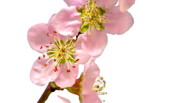 4 k の時間経過映画でクロマ キー背景に咲く桃の花。モモ移動時間経過で成長しています。アルファ チャネルが含まれています。