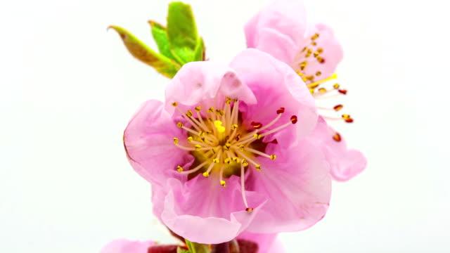 桃花満開白を背景にしたの低速度撮影