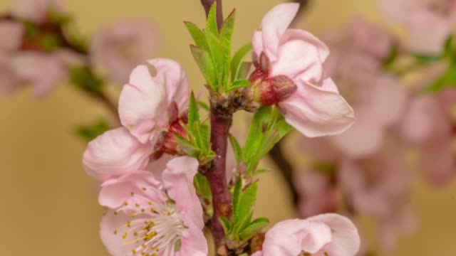 peach flower blooming against yellow background in a time lapse movie. prunus persica growing in time-lapse. - stock video, sliding and rotating. two axes movement - peach stock videos & royalty-free footage