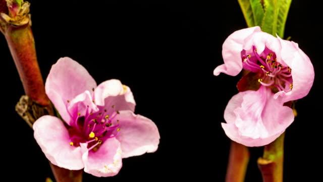 桃花満開のタイムラプス Hd 1080 video ます。