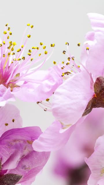 桃の花は、垂直形式の時間経過4kビデオで咲きます。春のプルナペルシカの花のビデオ。9:16 携帯電話やソーシャルメディアに適した垂直フォーマット。 - モモ点の映像素材/bロール