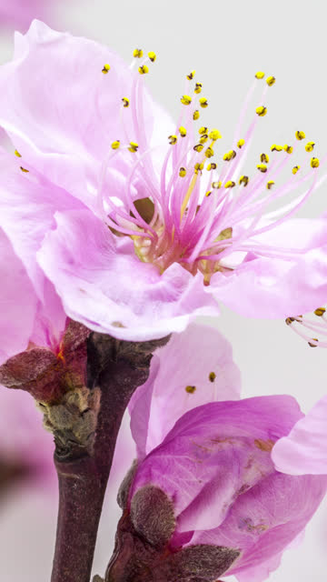 peach flower blooming in a vertical format time lapse 4k video. video of prunus persica blossom in spring time. 9:16 vertical format suitable for mobile phones and social media. - ramo parte della pianta video stock e b–roll