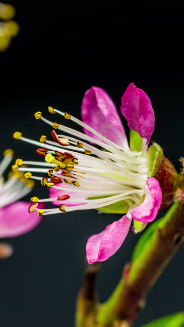 peach flower blooming in a vertical format time lapse 4k video. video of prunus persica blossom in spring time. 9:16 vertical format suitable for mobile phones and social media. - bud stock videos & royalty-free footage