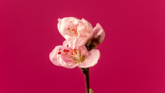 peach flower rotating and blooming in a horisontal format time lapse 4k video. video of prunus persica blossom in spring time. - bud stock videos & royalty-free footage