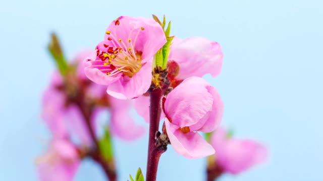 桃の花 - flower head点の映像素材/bロール