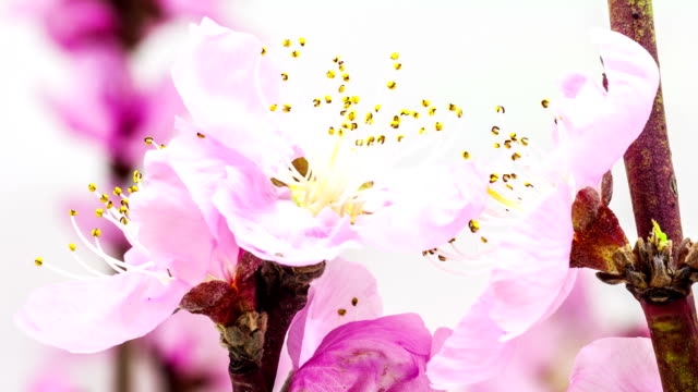 peach flower - floral pattern stock videos & royalty-free footage