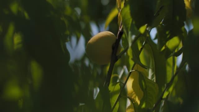 緑の小枝に桃の果実 - 道を譲る点の映像素材/bロール
