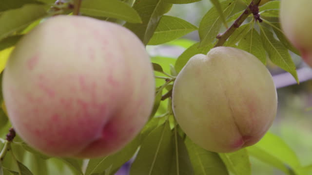 peach hanging in trees / uiseong-gun, gyeongsangbuk-do, south korea - peach stock videos & royalty-free footage