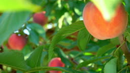 Peach hanging on a tree branch