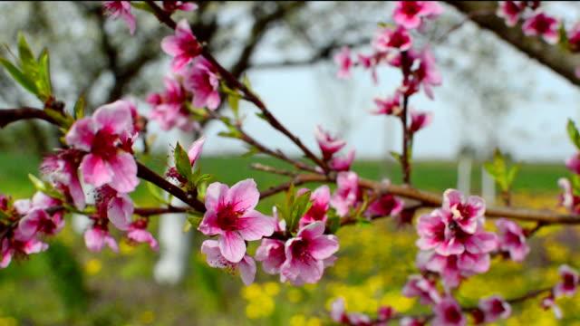 vídeos y material grabado en eventos de stock de melocotonero cerezos en flor - pistilo