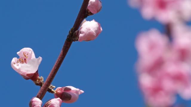 Peach tree during the spring season