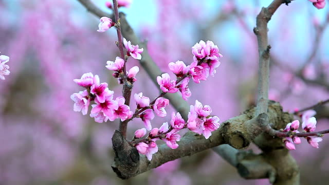 Peach tree on flower