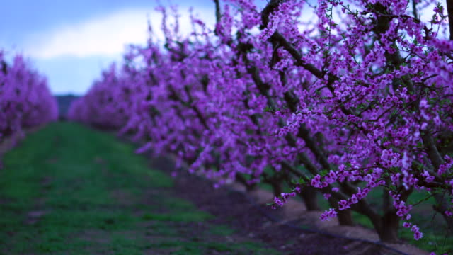 vídeos de stock, filmes e b-roll de peach trees in bloom, aitona, lleida, catalonia, spain, europe - árvore de folha caduca