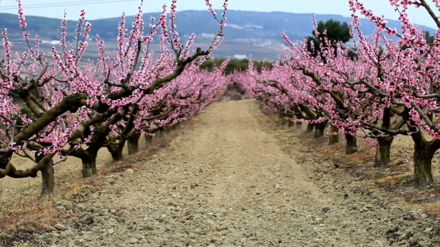 Peaches field in flower