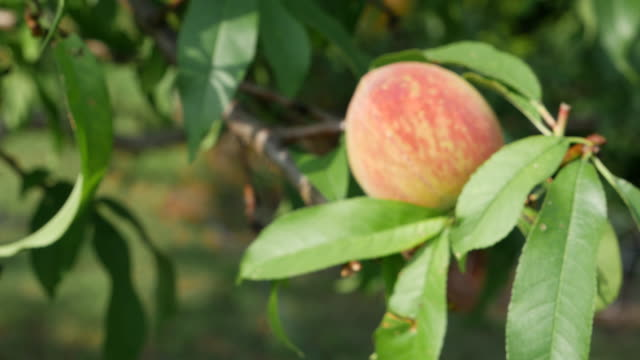 peaches in the south of america - peach stock videos & royalty-free footage