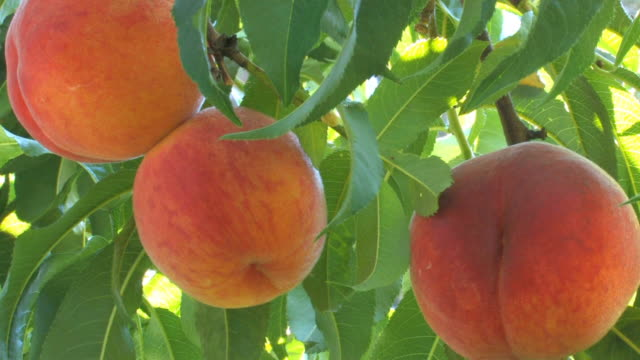 peaches on a tree - juicy stock videos & royalty-free footage