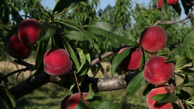 vídeos de stock e filmes b-roll de peaches on tree, ardeche, france - maduro